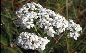 AllgäuStauden Wiesen-Schafgarbe Achillea millefolium