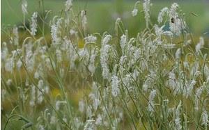 AllgäuStauden Wiesenknopf Sanguisorba tenuifolia var. alba 'Albiflora'