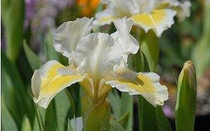 AllgäuStauden Zwerg-Bart-Iris Iris barbata-nana 'Captive Sun'