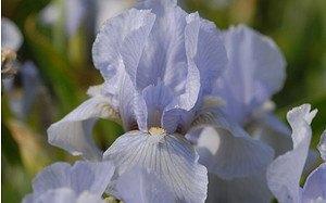AllgäuStauden Zwerg-Bart-Iris Iris barbata-nana 'Oberschwaben'