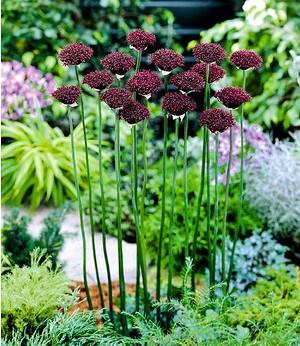 """Allium """"Atropurpureum"""",8 Zwiebeln"""
