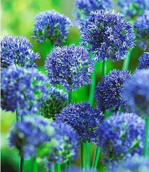 """Allium """"Caeruleum"""",20 Zwiebeln"""