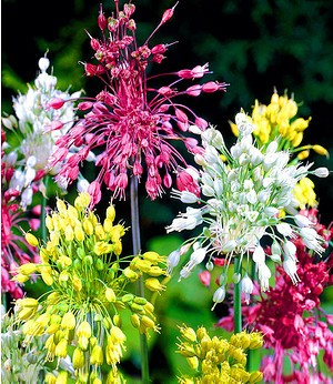 """Allium """"Fireworks"""",6 Zwiebeln"""