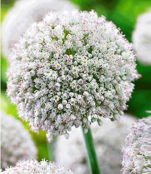 """Allium """"White Cloud"""",3 Zwiebeln"""