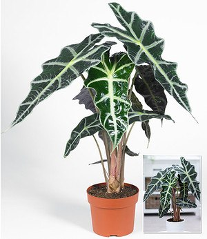 Alocasia Polly,1 Pflanze