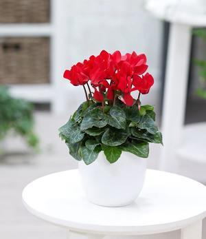 """Alpenveilchen """"Rot"""",1 Pflanze"""