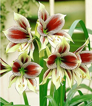 "Amaryllis ""Papilio Butterfly"",1 St."
