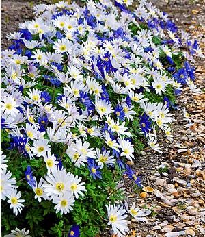 "Anemone Blanda Mix ""Blue & White"",25 Zwiebeln"