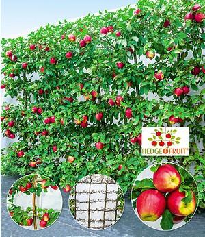 "Apfel-Hecke ""HEDGE+FRUIT®"" Gala,3 Pflanzen"