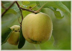 Apfelquitte Cydonia oblonga
