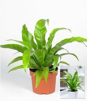 """Asplenium """"Antiquum"""" ,1 Pflanze"""