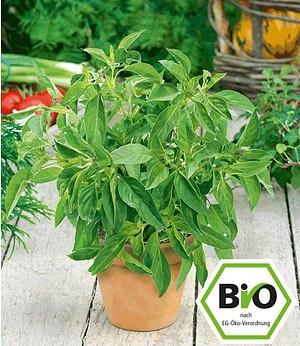 Attila Hildmann BIO-Zitronen-Basilikum,1 Pflanze