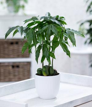 Australische Kastanie, 1 Pflanze