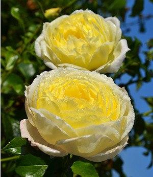 """Baldur-Garten Kletterrose """"Amnesty International®"""",1 Pflanze"""