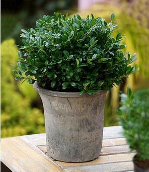 Baldur-Garten Luxus® Globe der Buchs-Ersatz,1 Pflanze