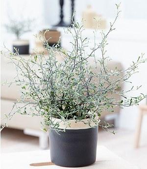 """Baldur-Garten Maori® Corokia cotoneaster """"Bonsai Green"""",1 Pflanze"""