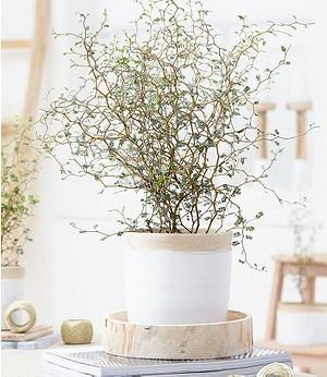 "Baldur-Garten Maori® Sophora Cotoneaster ""Little Baby"",1 Pflanze"
