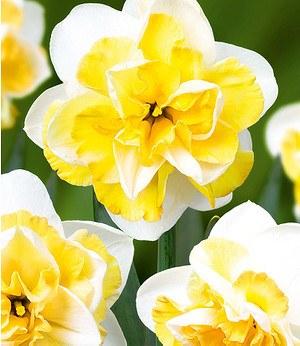 """Baldur-Garten Narzisse """"Double Golden Pearl"""",7 Zwiebeln"""