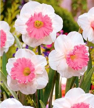 "Baldur-Garten Narzisse ""Pink Parasol"",8 Zwiebeln"