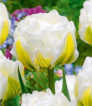 """Baldur-Garten Tulpe """"Cool Double"""",8 Zwiebeln"""
