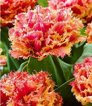 "Baldur-Garten Tulpe ""Crispa Brisbane"",8 Zwiebeln"