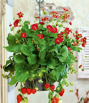 "Balkon-Erdbeere ""Ruby Ann"" F1,3 Pflanzen"