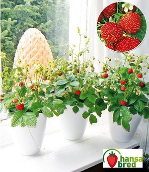 "Balkon & Fensterbank Erdbeere""Fontaine®"";2 Pflanzen"