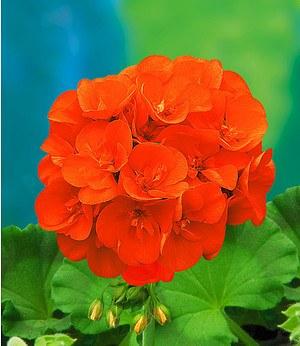"""Balkon-Geranie """"Mandarin®"""",3 Pflanzen Pelargonium zonale"""