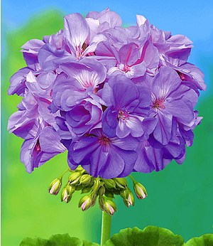 "Balkon-Geranie ""PAC® Blue Wonder"",3 Pflanzen Pelargonium zonale"