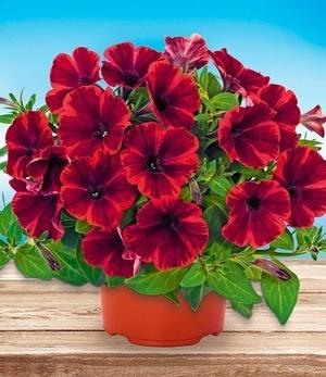 "Balkon-Petunie ""Fiona Flash®,3 Pflanzen"