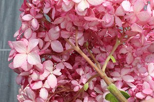 Ballhortensie, Amerikanische Hortensie 'Pink Annabelle'®
