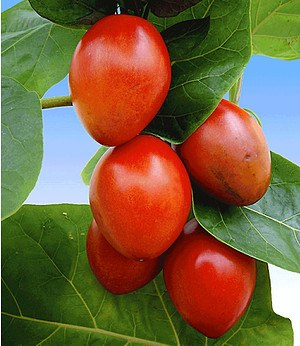 Baum-Tomate,1 Pflanze