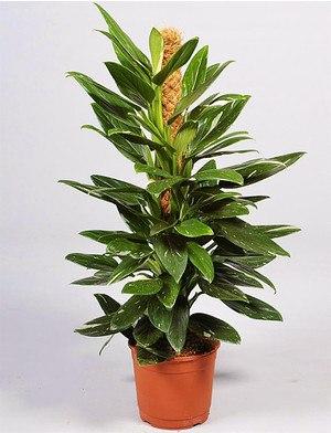 Baumfreund (Philodendron) Cobra - Philodendron Cobra