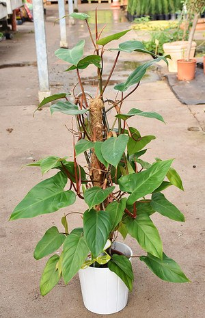 Baumfreund (Philodendron) Red Emerald