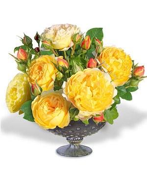 "Beet-Rose ""Château de Cheverny®"",1 Pflanze"