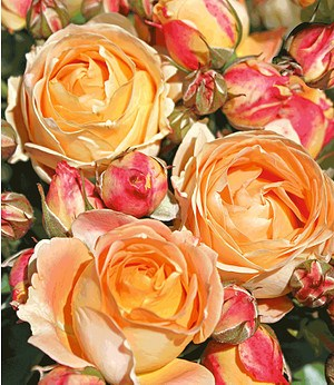 "Beet-Rose ""Dolce Vita®"",1 Pflanze"