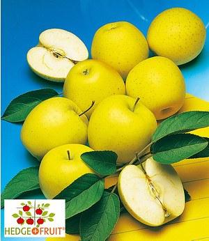 """Befruchtersorte """"HEDGE+FRUIT®""""Golden Delicious,1 Pflanze"""