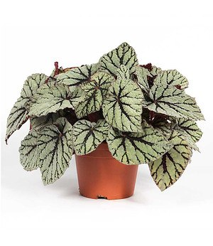 Begonie Magic Colours Fedor®,1 Pflanze