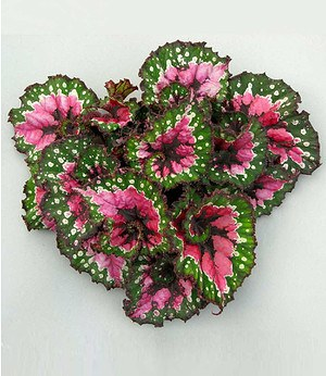 Begonie Magic Colours Macarena®,1 Pflanze