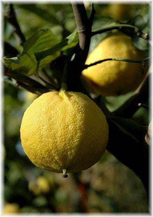 Bergamotte Citrus bergamia