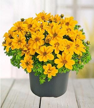"""Bidens """"Yellow Sunshine®"""",3 Pflanzen"""