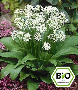 BIO-Bärlauch 2 Pflanzen Alliumursinum Waldknoblauch