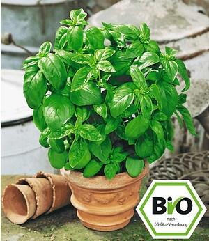 "BIO-Basilikum ""Genoveser"",1 Pflanze Ocimum basilicum Basilikumpflanze"