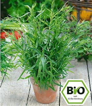 BIO-Estragon, französischer,1Pflanze Artemisia dracunculus