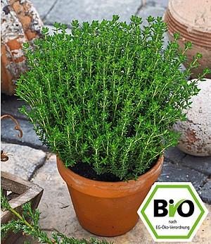 BIO-Gewürz-Thymian,1 Pflanze Thymus vulgaris Küchenkräuter