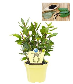 BIO-Gewürzlorbeer,1 Pflanze