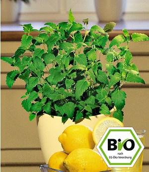 BIO-Limonaden-Minze 1 PflanzeAgastache mexicana