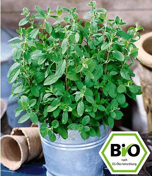 BIO-Majoran,1 Pflanze Origanummajorana