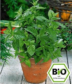BIO-Minze, Marokkanische,1 Pflanze Mentha spicata variegata Crispa