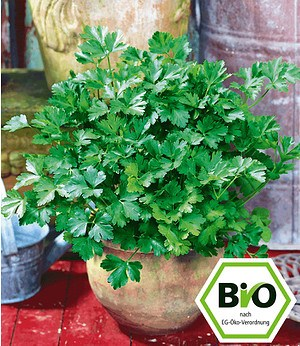 BIO-Petersilie, glatt,1 Pflanze Petroselinum crispum